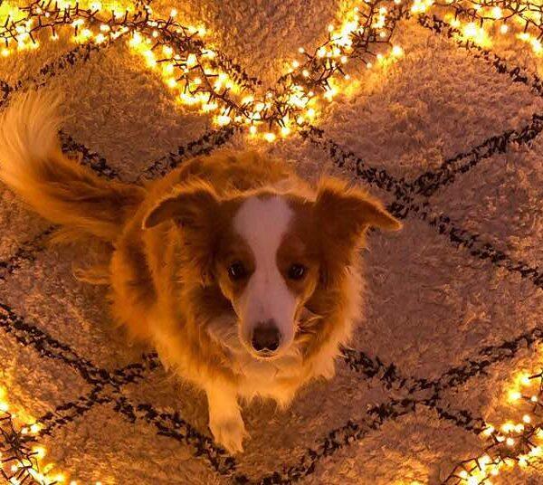 Hulphond, licht in de duisternis als kerstcadeau